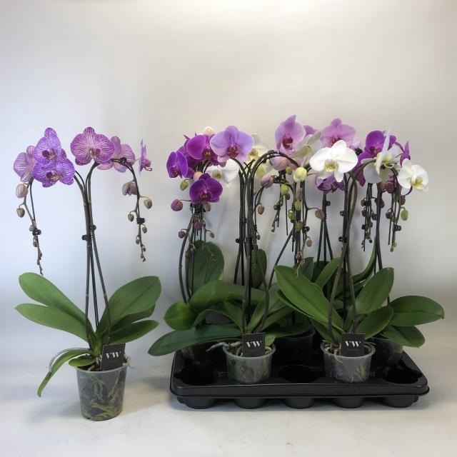 <h4>Phalaenopsis mix 12Ø 55cm 2stem 16Flow</h4>