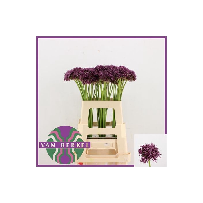 <h4>Allium Firmament</h4>