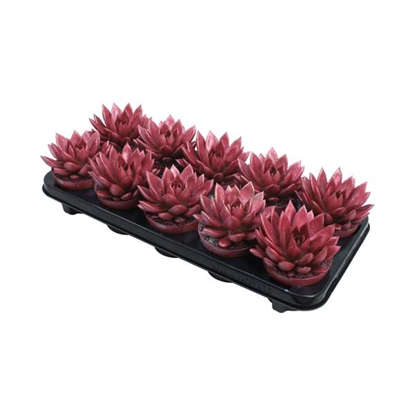 <h4>Echeveria coloured metallic red + glitter</h4>