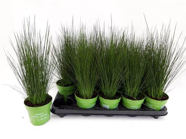 <h4>Juncus Pencil Grass</h4>