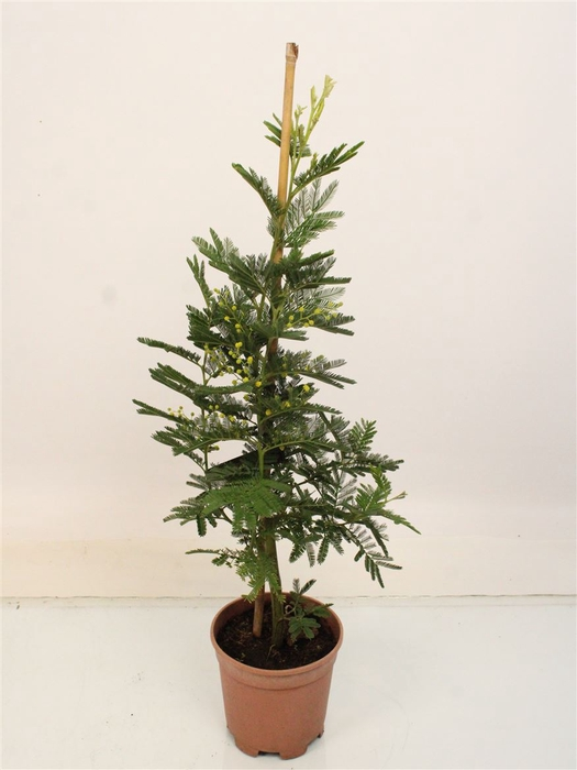 <h4>Acacia Mimosa Daelbata On Stick</h4>