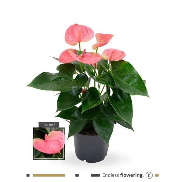 <h4>Anthurium Karma Pink</h4>
