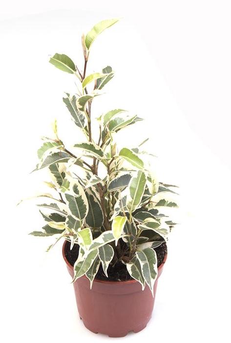 <h4>Ficus Samantha 6Ø 15cm</h4>