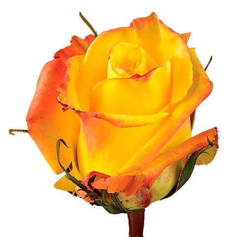 <h4>R Gr Mohana Yellow 50cm EC</h4>