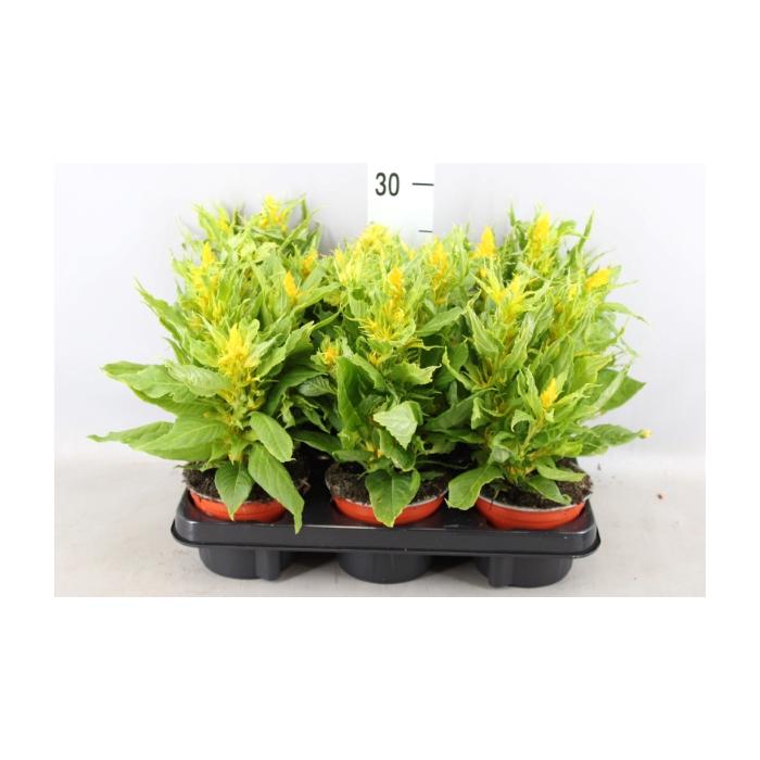 <h4>Celosia arg. PL 'Kelos Fire Yellow'</h4>