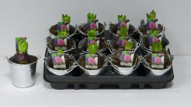 <h4>Hyacinthus mix 9Ø 14cm 1pp</h4>