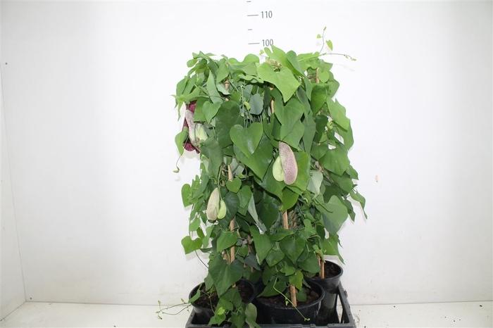 <h4>Aristolochia Durior</h4>