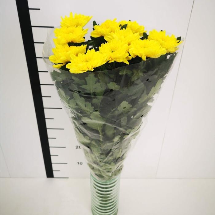 <h4>Chrysanthemum monoflor zembla amarillo</h4>