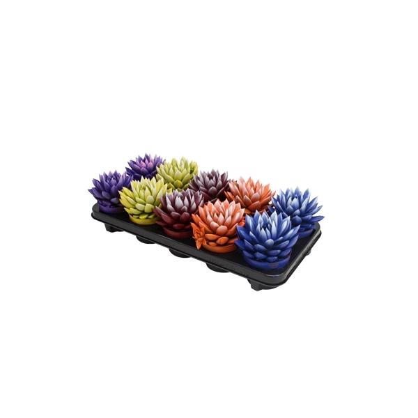 <h4>Echeveria bicoloured mix</h4>