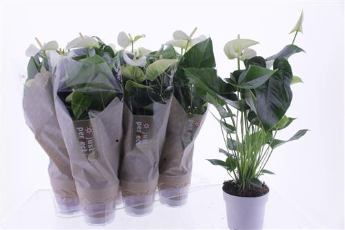 Anthurium Sharade White